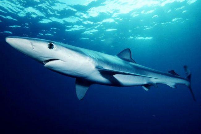 Найнебезпечніша акула в світі: топ 10
