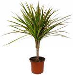 Кімнатні рослини: драцена