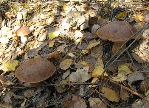 Красноголовець: опис гриба з фото