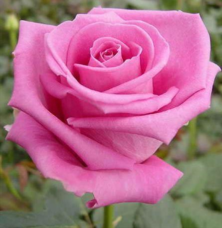 троянда аква фото