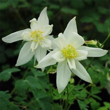 квітка аквилегия