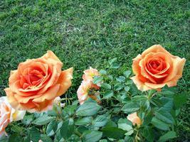троянда ашрам