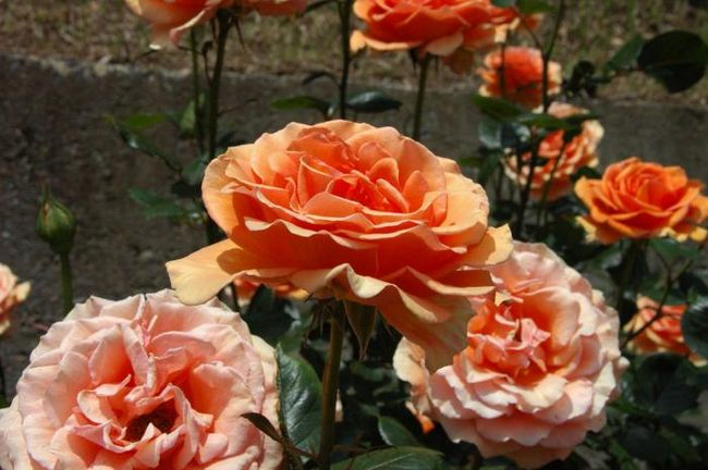 троянда ашрам опис