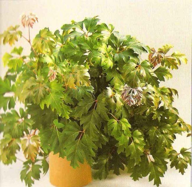 Циссус, можливі проблеми вирощування