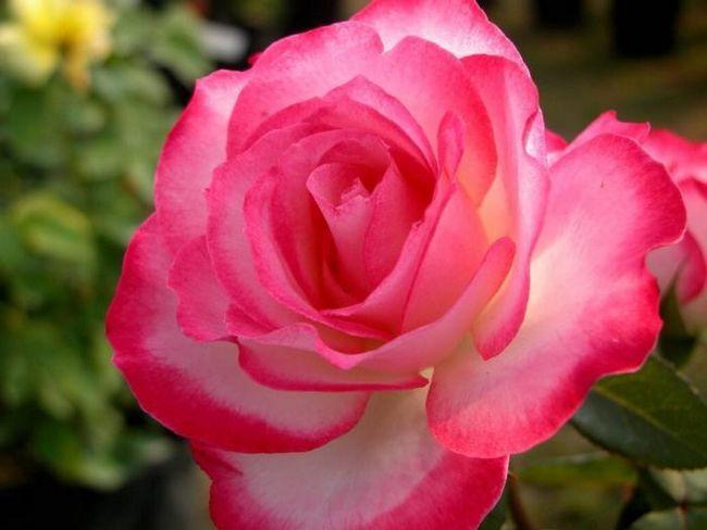 домашній квітка камелія