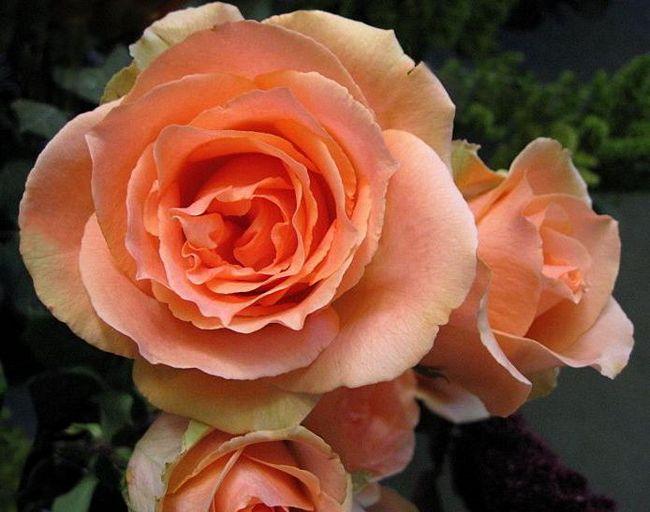 Квітка рідкісної краси - троянда версілія