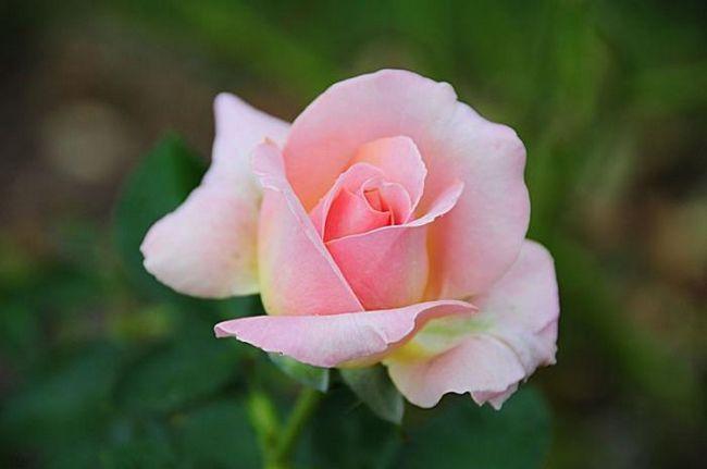 квіти чайної троянди