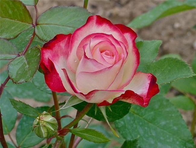 колір чайної троянди фото