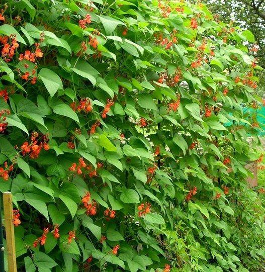 Квасоля декоративна - невибаглива і красива рослина