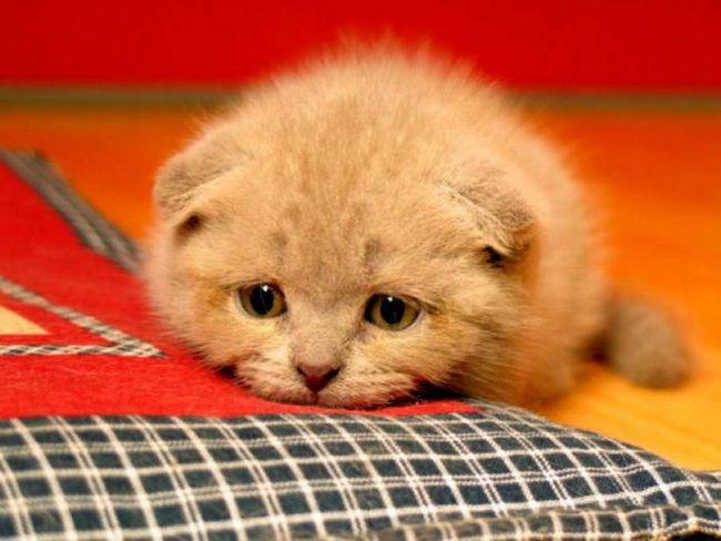 фоспасім для кішок