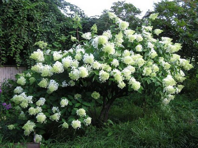 гортензія анабель деревоподібна посадка і догляд