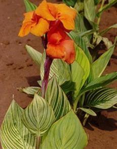 канни квіти зберігання взимку