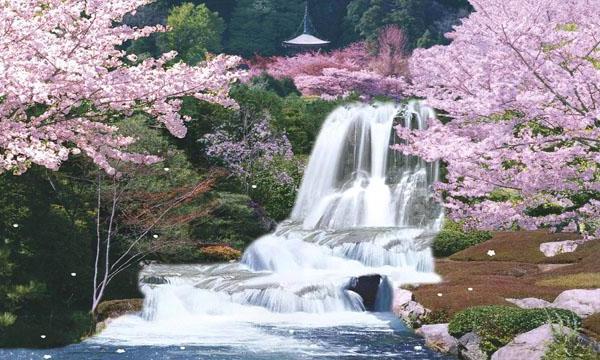 Японська сакура - дерево-мрія