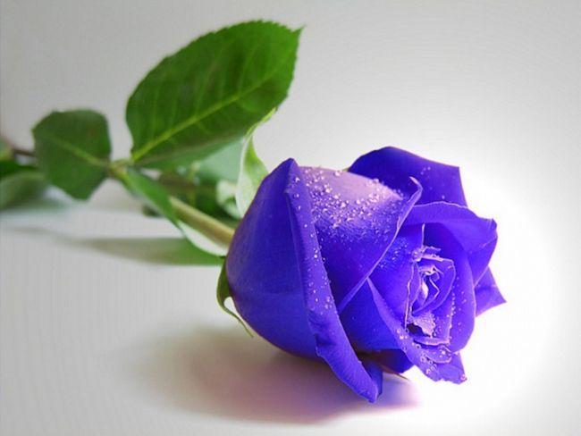 Як пофарбувати троянди