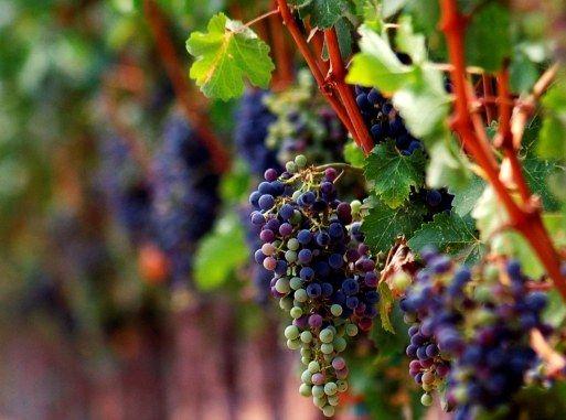 Як посадити і виростити виноград