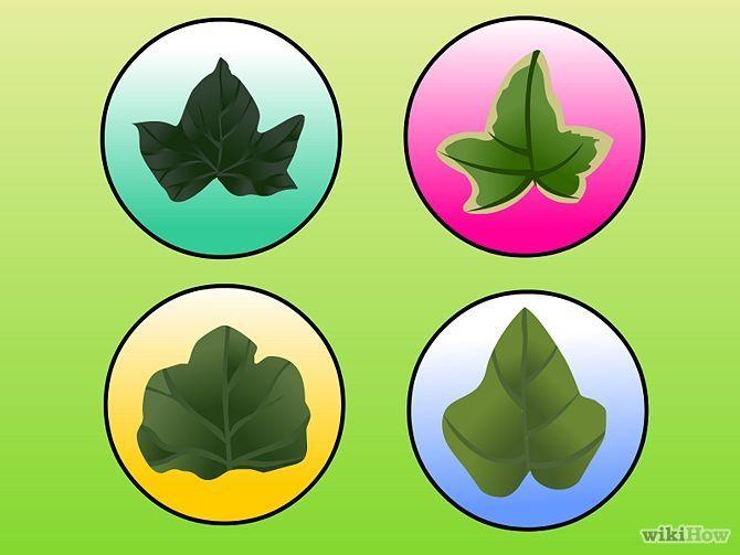 Зображення з назвою Plant Ivy Step 1