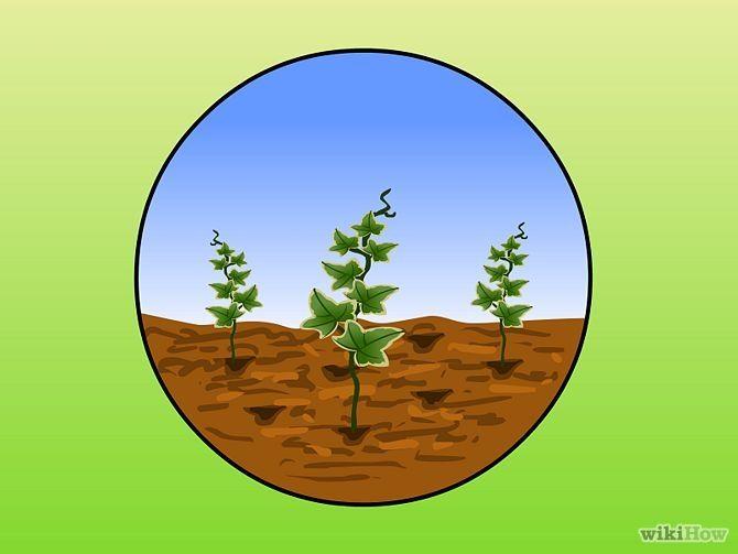 Зображення з назвою Plant Ivy Step 5
