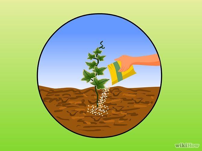 Зображення з назвою Plant Ivy Step 6