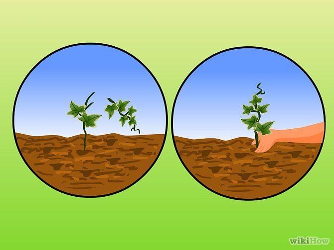 Зображення з назвою Plant Ivy Step 7