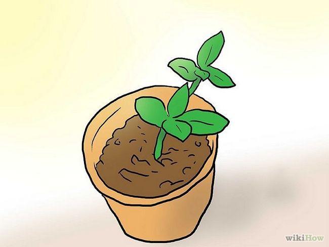 Зображення з назвою Plant Plumeria Seeds Step 9