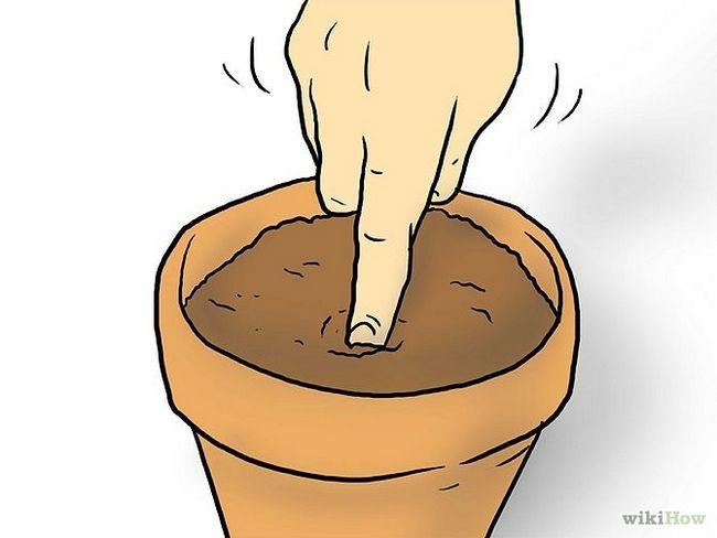 Зображення з назвою Plant Plumeria Seeds Step 4