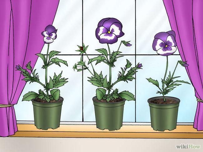 Зображення з назвою Make Pansies Bloom Again Step 10