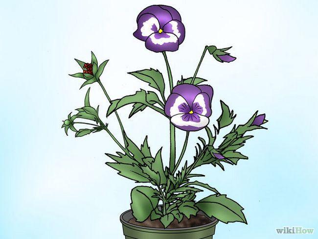 Зображення з назвою Make Pansies Bloom Again Step 11