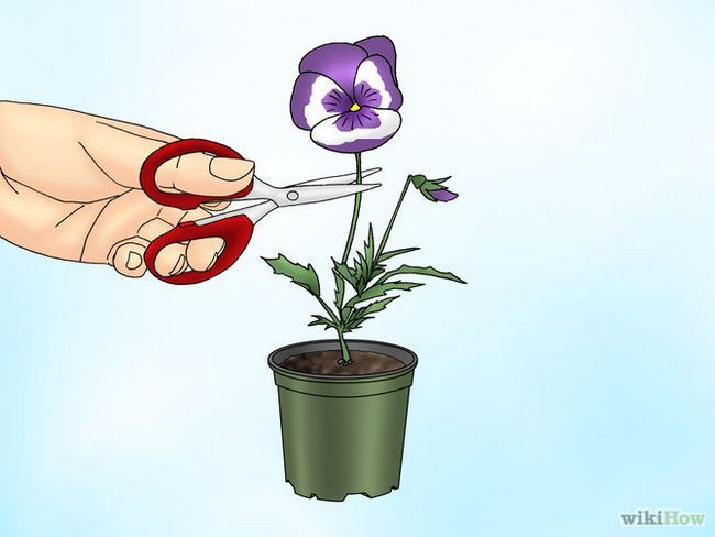 Зображення з назвою Make Pansies Bloom Again Step 2