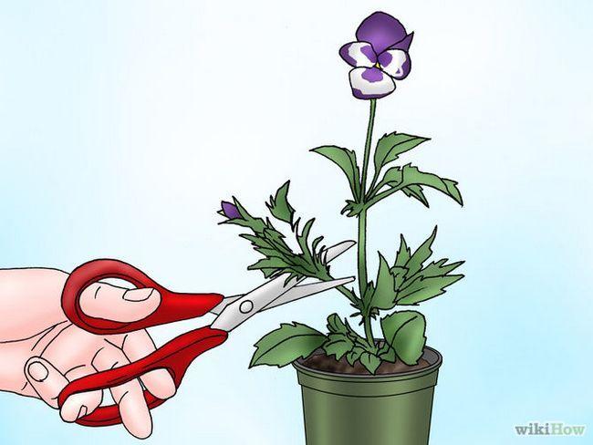 Зображення з назвою Make Pansies Bloom Again Step 4