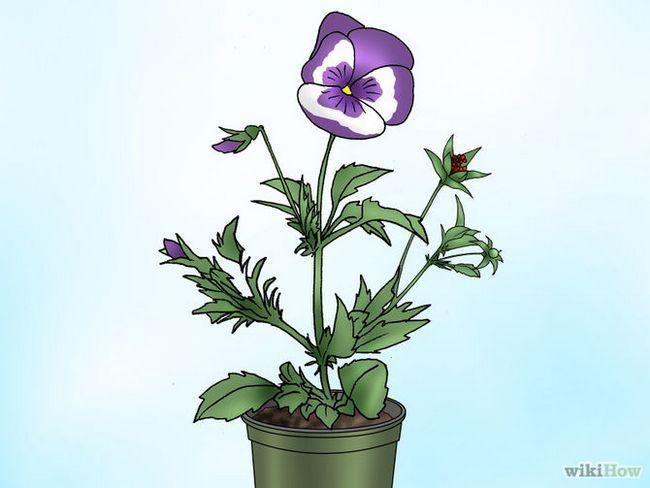 Зображення з назвою Make Pansies Bloom Again Step 5