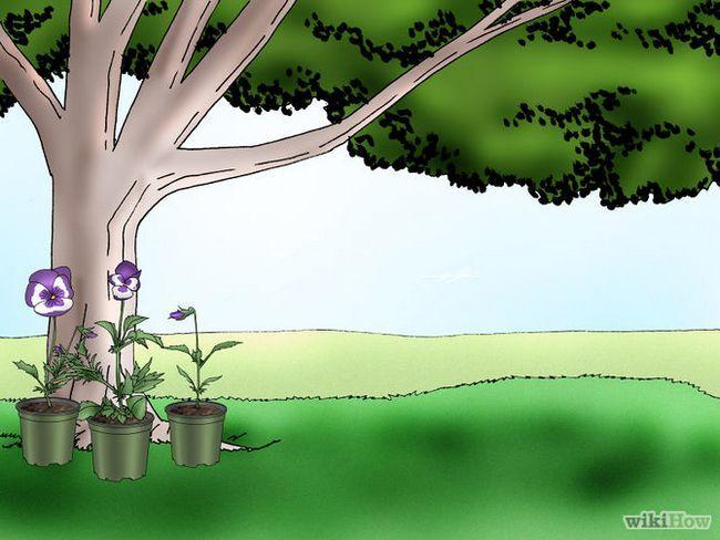Зображення з назвою Make Pansies Bloom Again Step 7
