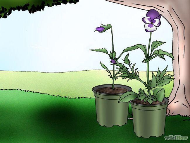Зображення з назвою Make Pansies Bloom Again Step 9