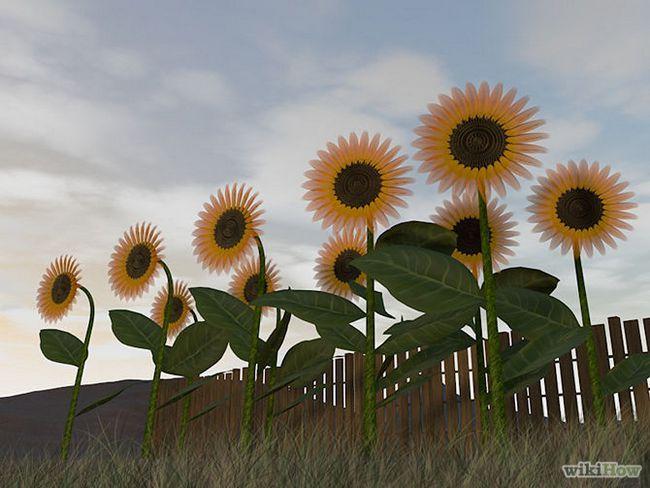 Зображення з назвою Harvest Sunflower Seeds Step 1