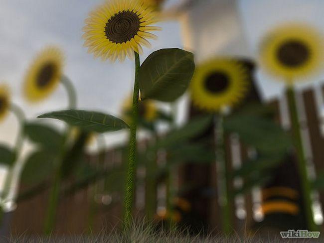 Зображення з назвою Harvest Sunflower Seeds Step 5