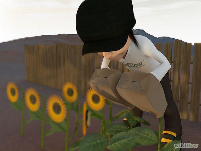 Зображення з назвою Harvest Sunflower Seeds Step 6