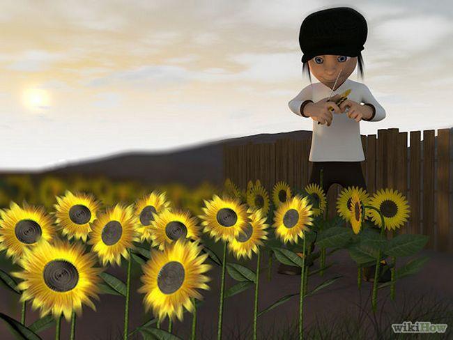Зображення з назвою Harvest Sunflower Seeds Step 7