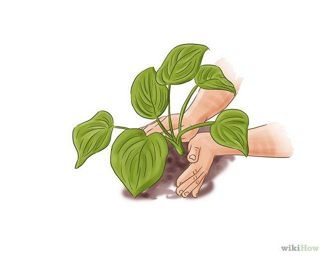 Зображення з назвою Care for Hostas Step 2