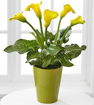 коали домашні квіти