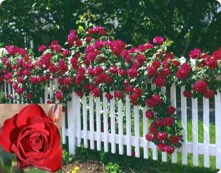 розмноження троянди плетистой