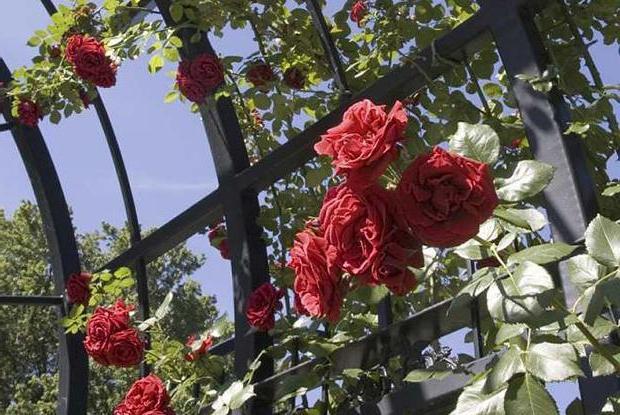 плетистая троянда розмноження
