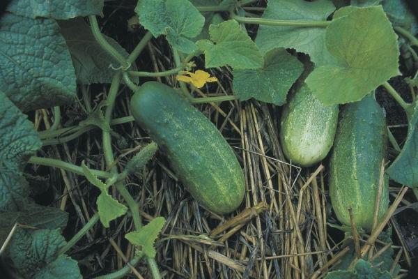 Посів огірків у відкритий грунт