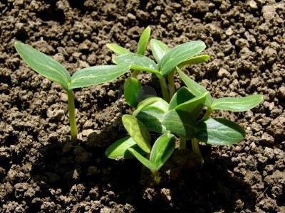 Терміни посіву огірків