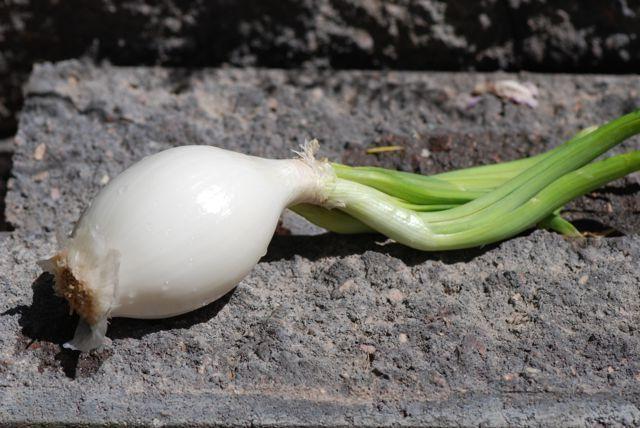 садимо цибулю-севок