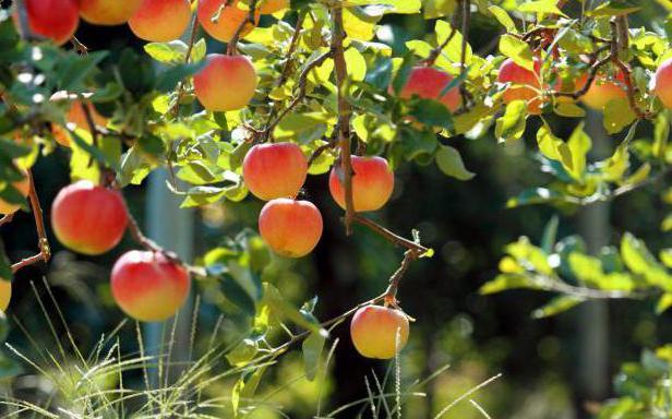 Щеплення яблунь в серпні держаком і іншими способами