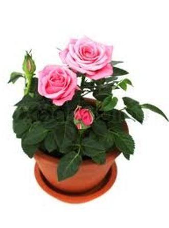 квіти родини розових