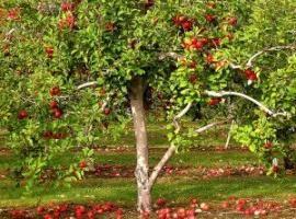 Секрети садівництва: підгодівля яблунь восени
