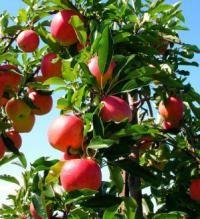 осіння підгодівля яблунь