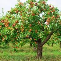 підгодівля яблунь і груш