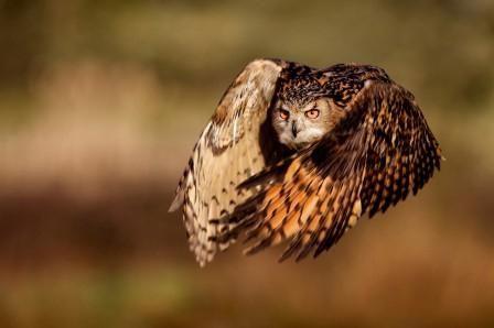 сонник пугач сова