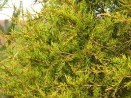 Вічнозелені кущі: ялівець віргінський
